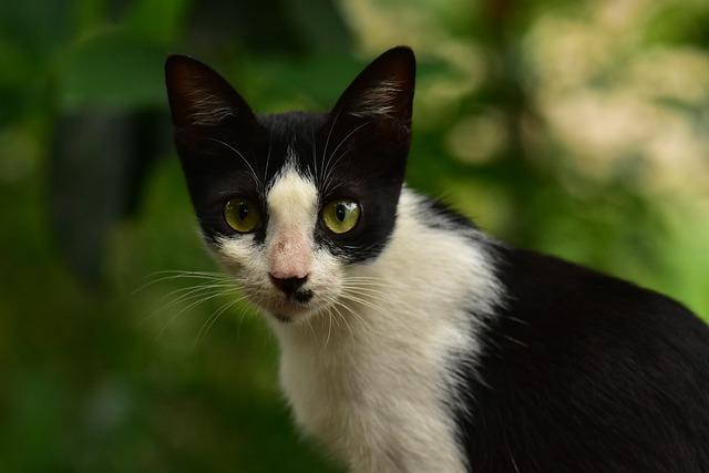 bíločerná kočka